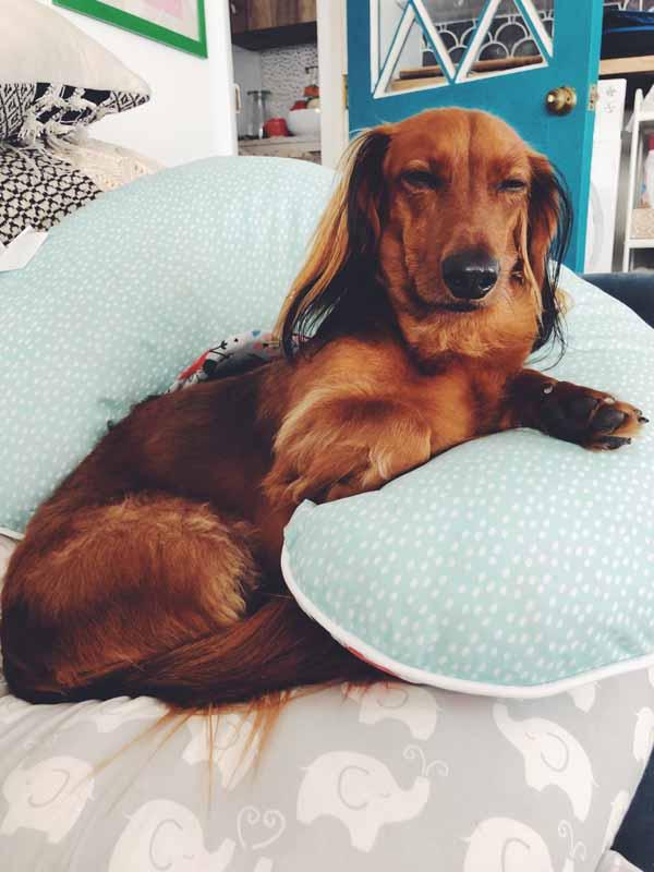 dachshund on a boppy